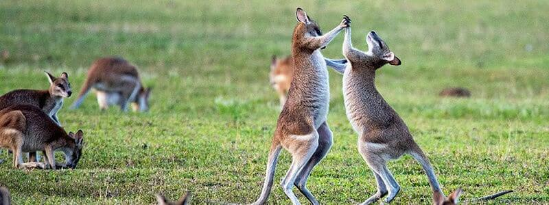 kangaroo playing